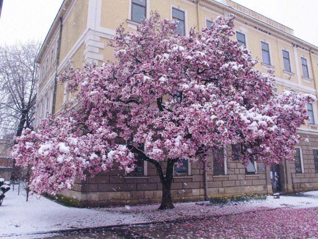 Brodska magnolija